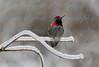 Hummingbird on Ice