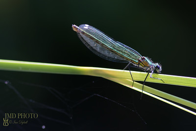 Beautiful Female Banded Demoiselle damselfly