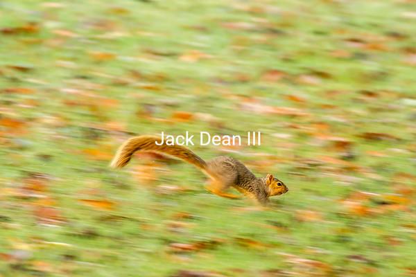 Northern Fox Squirrel
