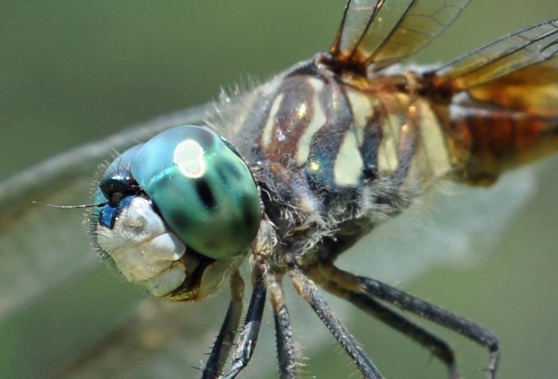 Dragonfly. Cape Carteret, NC. 2011.