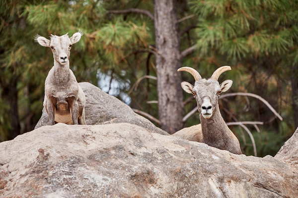 Female Bighorn Sheep and her Lamb