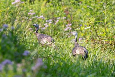 Wild Turkey - Females