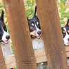 Animals >Borgi Corgi Corgi in unison