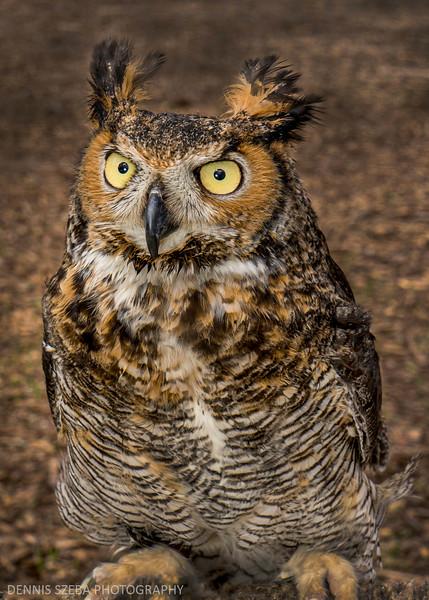 Owl - horned