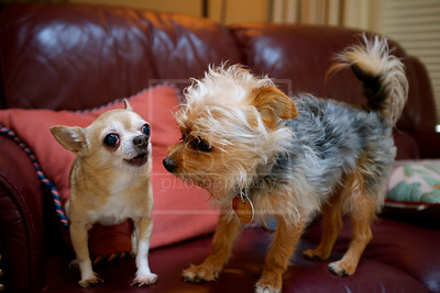 The Chihuahua and the Yorkie