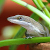 Anole Posing For Me