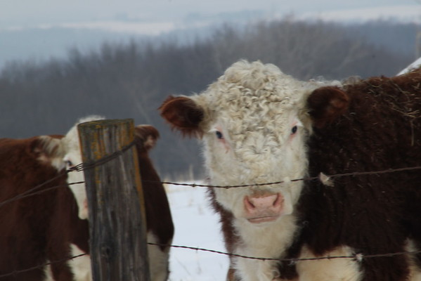 Two Herefords, Three Eyes.