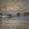 092016 Mallard Duck - Davis and Laurel - Salinas 019