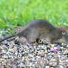 Male Roof Rat