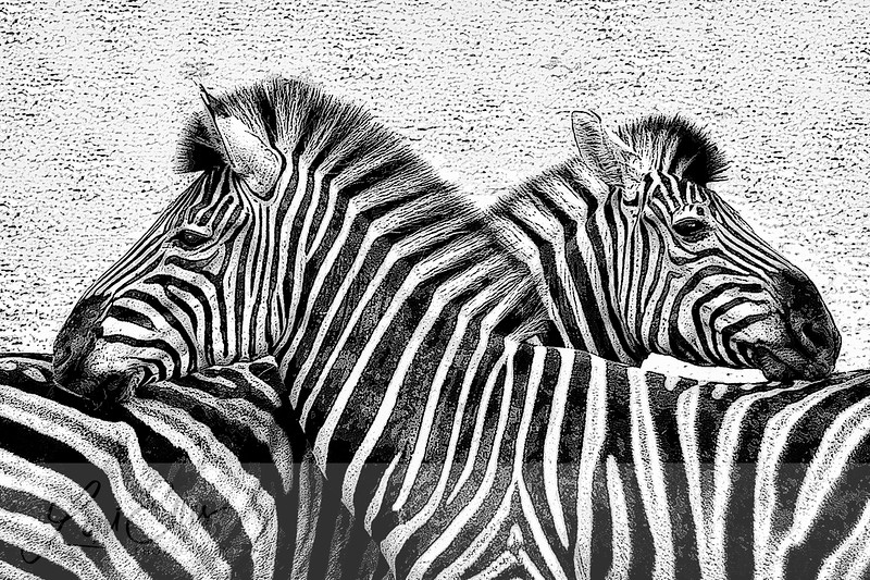 Pair of Zebras - Painted