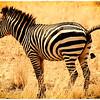 Zebra Pooping