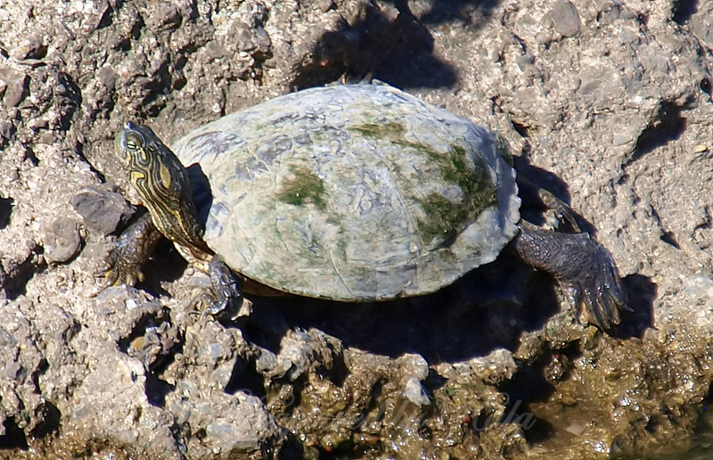 Side View of the Texas Cooter
