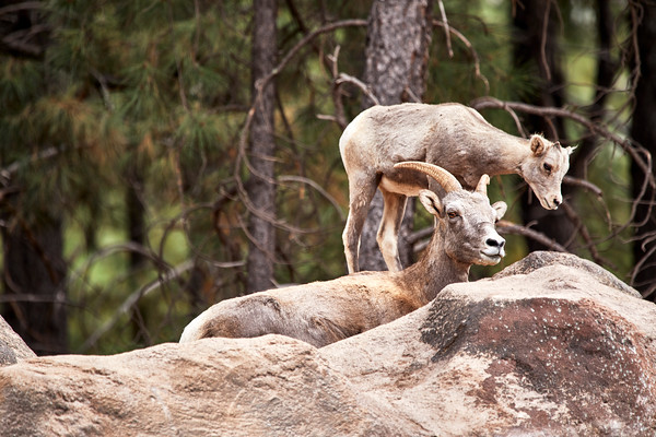 Female Bighorn Sheep with her Lamb