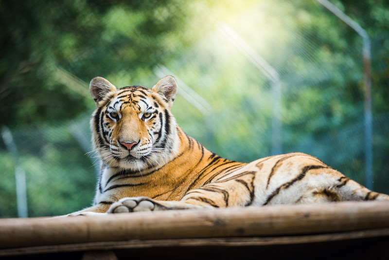 tiger-world-5194