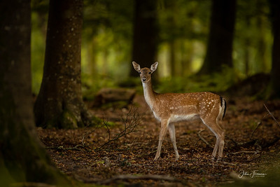 Fallow Doe, New Forest