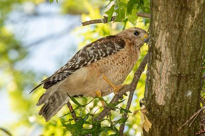 Red-shouldered Hawk - Female