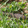 Closer View of the Head of a Diamondback Water Snake
