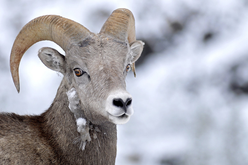 Big horn sheep, Canadian Rockies