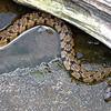 Diamondback Water Snake In The Water