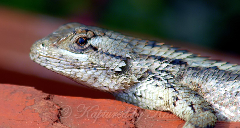 This  Is Why I'm Called A Spiny Lizard