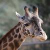 Giraffe Staring