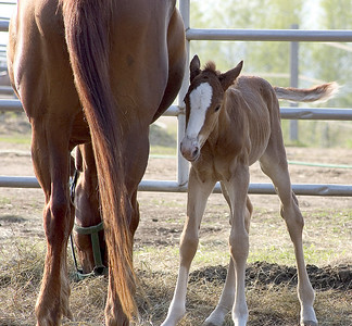 New born foal with it's mother