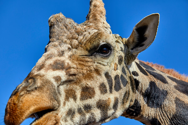 Profile of a Giraffe