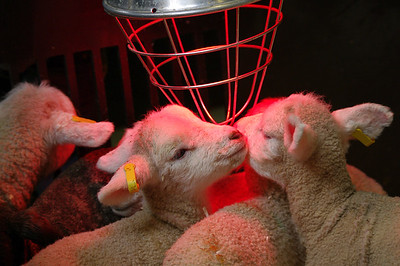Lambs with heater