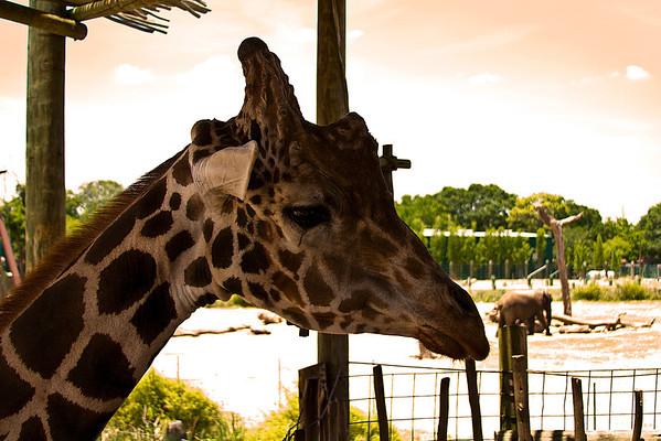 Profile Giraffe