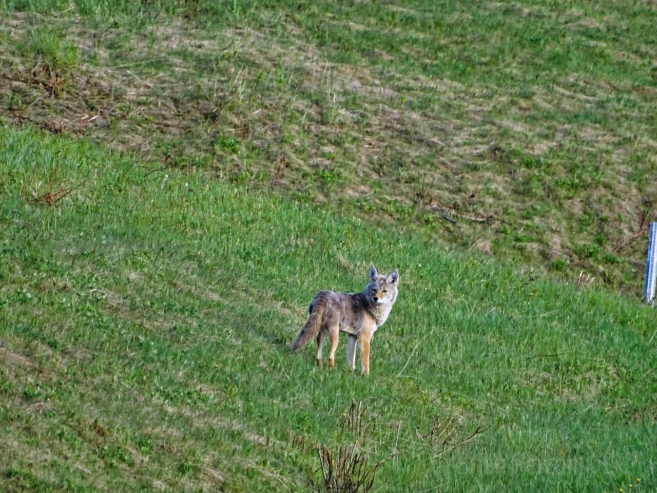 Coyote, Alaska