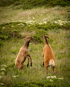 Dispute Between Cow Elk
