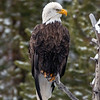 Bald Eagle on the Gibbon River