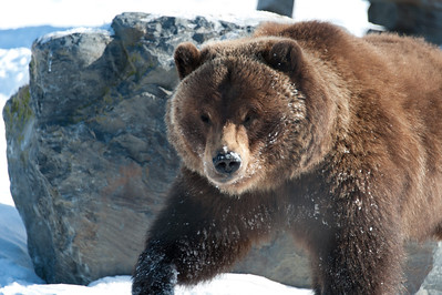 Beady-eyed Bear