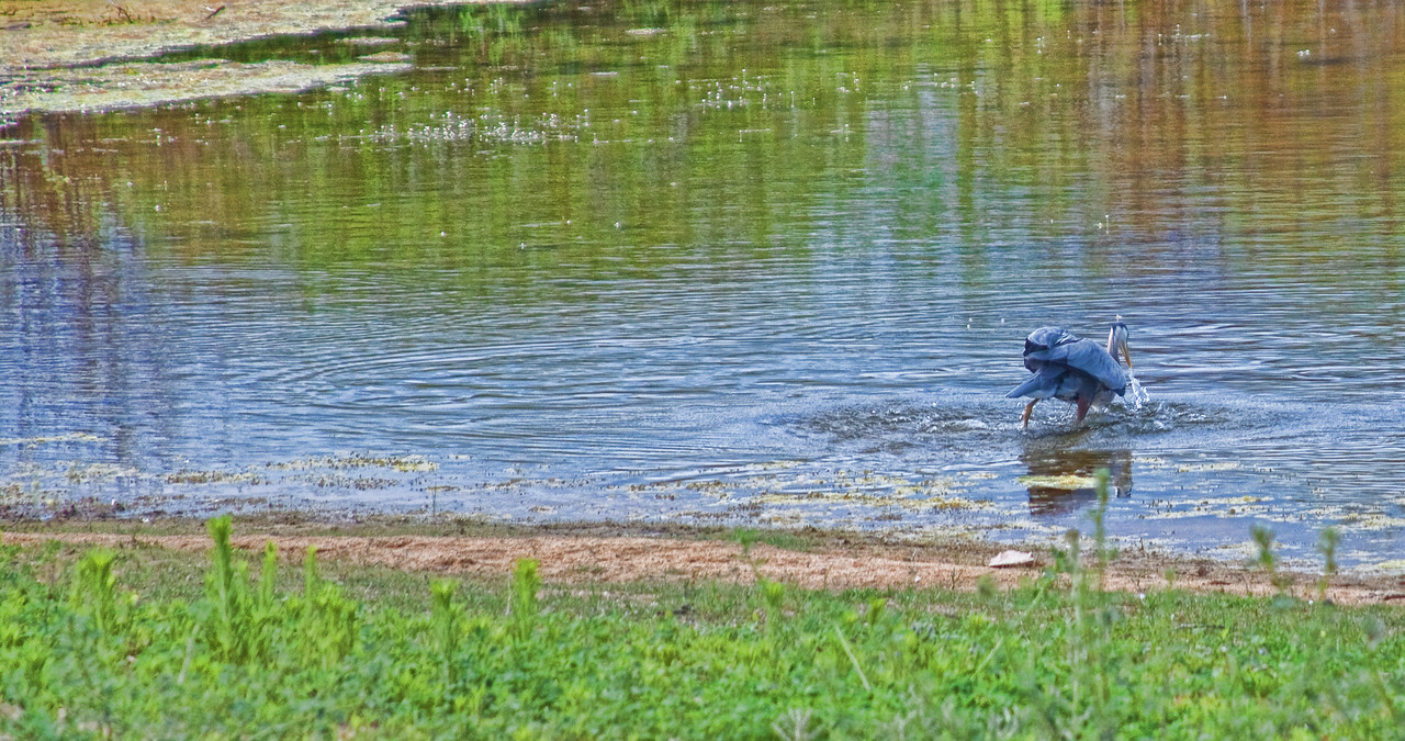 Great Blue Heron catching a young Bass in the shallows