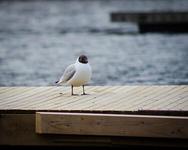 Gull On A Pier