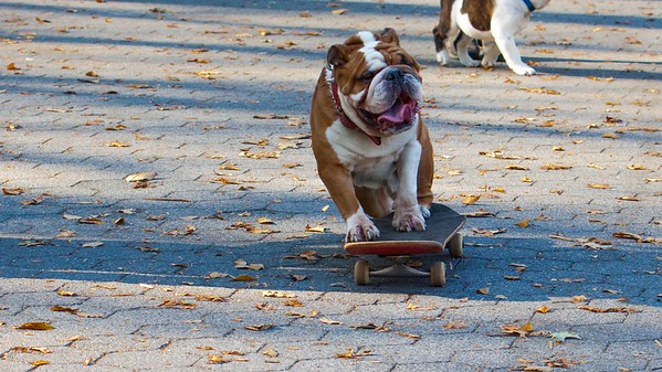 """Cartman"" the skateboarding dog in Central Park, New York City."