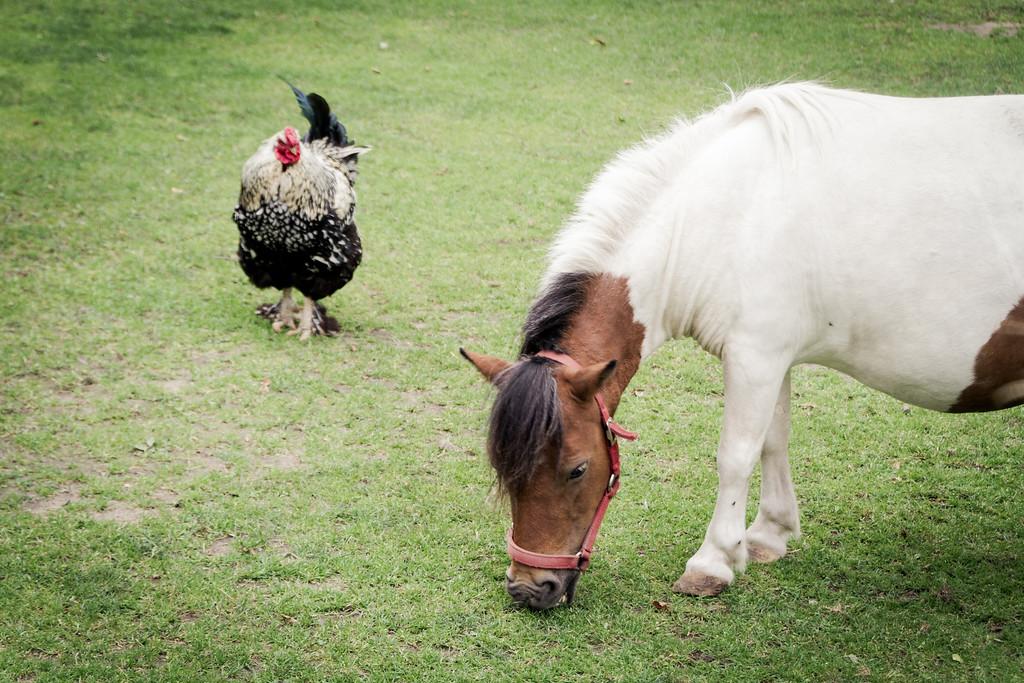 Chicken & Horse