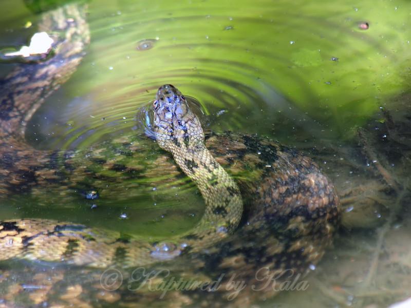Diamondback Water Snake Mating Behavior 5