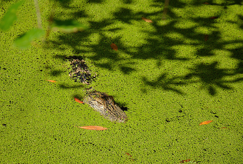 Alligator camouflaged in the lake.