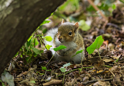 Young Grey Squirrel 2