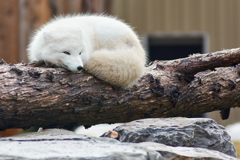 <h1>Arctic Fox</h1> <p>Vince Mullen is a photographer in Batavia, NY. See more of my <a>Animals at Convincedimaging.com</a></p>