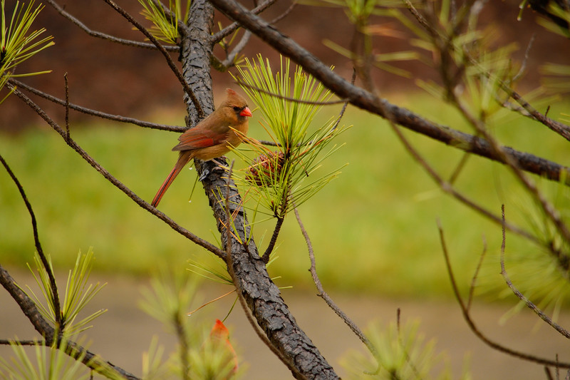 Beautiful  bird  (Northern Cardinal ) sitting on pine tree branch.