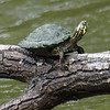 Tiny Texas Cooter