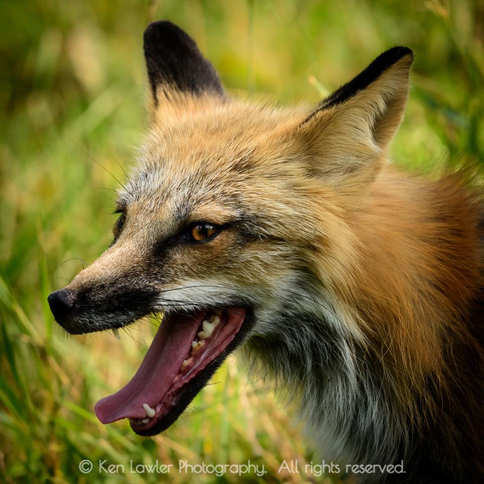 Fox portrait I