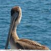 082912 Pelican - Monterey Harbor 001 5x7L