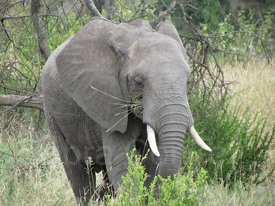 Bull elephant eating grass, Tarangire National Park, Tanzania, East Africa