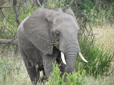 Bull elephant eating grass, Tarangire National Park, Tanzania, East Africa