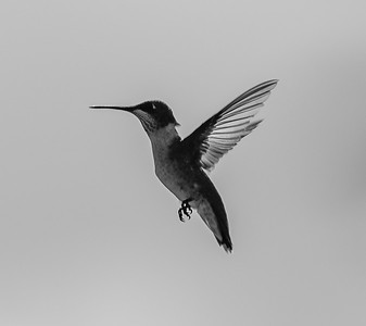 TexasHummingBird2019-27-BW