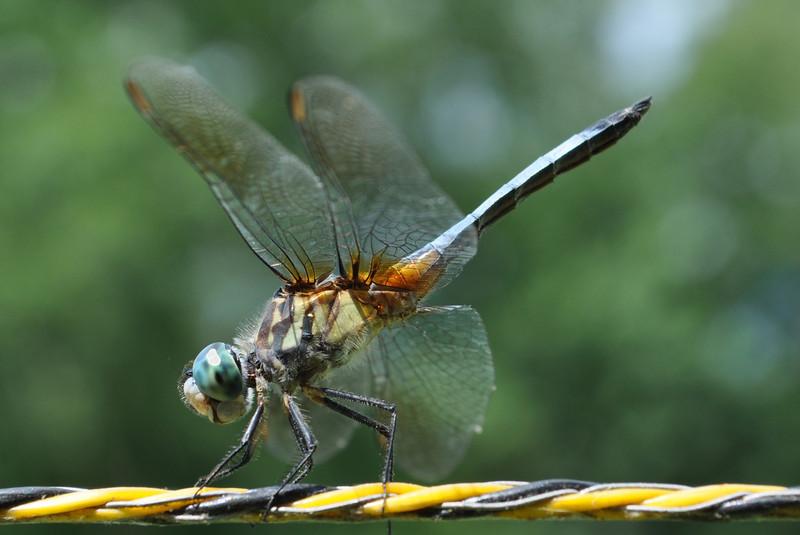 Dragonfly. Cape Carteret, NC 2011