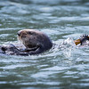 Two Otters, Elkhorn Slough